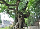 arbre remarquable - Longueville - Locmalo - crédit photoCCPRM (21).JPG