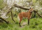 Loup a criniere_Zoo des Sables - S. Silhol.jpg