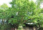 arbre remarquable - Longueville - Locmalo - crédit photoCCPRM (6).JPG