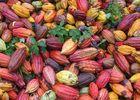 Cabosse de cacao - Max Vauché