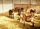 Elevage de chèvres