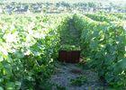 Champagne Déchelle_vignes < Brasles < Aisne < Picardie