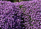 Fleurs < Violette < Thiérache < Aisne < Picardie