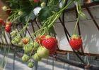 voyenne_la_fraise_de_voyenne_detail_serre