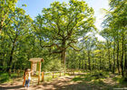Chêne des Hindrés Forêt de Brocéliande