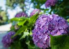 Circuit des hortensias - jardin remarquable - Ploërmel - Morbihan - Bretagne