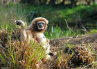 Gibbon-Zoo-des-Sables---S