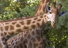 Girafe-Zoo-des-Sables---Paul-Eric