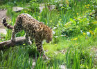 Panthere-Zoo-des-Sables---S