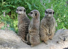 Suricates---Zoo-des-Sables---S