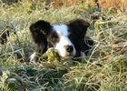 Bergerie-Nationale-chien