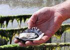 Huitre brassée mer - Baie de la Fresnaye - Plévenon - Les huitres
