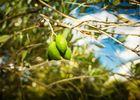 Fleur d'olive-Nissan Lez Enserune_19