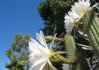 PCU - Jardin Méditérranéen - Sud de France - fleur3