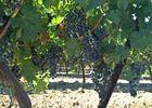 Les vignes, Domaine de Peilhan