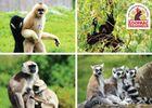 Carte Postale Primates Ensemble