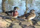 Couple de carolins - Parc Ornithologique de Bretagne - Bruz
