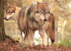 Les loups de Coat Fur