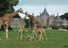 Le Parc Zoologique et Chateau de la Bourbansais à Pleugueneuc, les girafes
