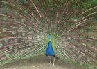 Paon - Parc Ornithologique de Bretagne - Bruz