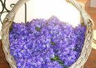Cueillette de violettes Viola 2000 RENNEVILLE