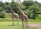 girafes safari african safari PLAISANCE