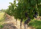 pied de vignes chateau bellevue FRONTON