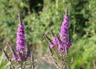 flore-marais-poitevin-longeville-sur-mer