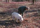 Labenque -  Cavage au Cochon