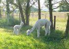 Alpagas du Quercy 7
