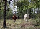 Colline aux chalets - 12 - Lama 01