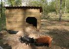 Colline aux chalets - 16 - Cochons 01