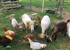 Domaine-coq-rouge-Colonges -mini-ferme