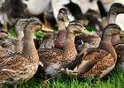 Elevage canards - Ferme de Roubegeolle à Vayrac_01 © Lot Tourisme - C. ORY