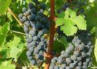 c_cave viticole de branceilles OK