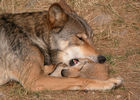 loups-du-gevaudan_02