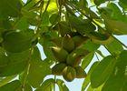 Arboretum de Payssas - Fruits (Bourdet Joseph)