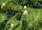 Arboretum de Payssas - Pins (Bourdet Joseph)