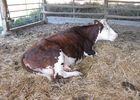 Ferme Ceres - vache