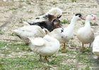 Parlariou - élevage de canars gras