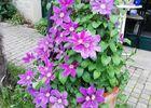 fleurs la mirabelle