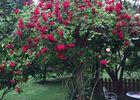 rosier Tonnelle rouge