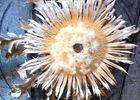 La fleur de Cardabelle