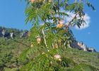 Le Mas avec l'Albizia, symbole du lieu