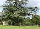 Cèdre dans le parc du château-Domaine des Hayes_Maxent