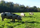 Ferme d'Argentel Coquainvilliers prés de Lisieux Groupe de cochons