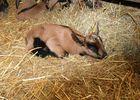 Ferme de la Biquetière à Tortisambert Chèvre seule
