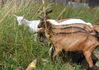 Ferme de la Biquetière à Tortisambert Groupe de chèvres