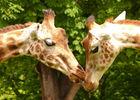 Girafes au zoo de Cerza près de Lisieux