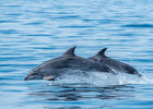 Faune Océan - grand-dauphin